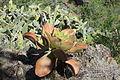 La Palma - Puntagorda - El Roque - Aeonium 01 ies.jpg