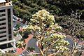 La Palma - Santa Cruz - Molinos de Bellido + Aeonium 01 ies.jpg