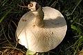 Lactarius fluens - Lindsey 1b.jpg