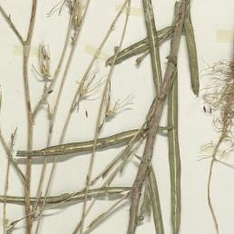 Lactuca saligna - Photo of Lactuca Saligna L. in the Smithsonian Institution, collected in 1912 in Dearborn County, Indiana, U.S.A.