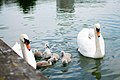 Lake with swans 5; 天鹅,湖.jpg