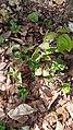 Lamium purpureum, familia Lamiaceae.jpg