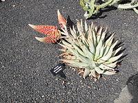 Lanzarote - Aloe claviflora.jpg