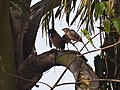 Large Grey Babbler and Common Mynah.jpg