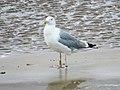Larus cachinnans PKCS 2015-08-06 Amble, Northumberland 3.jpg