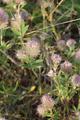 Lauterbach Maar Reuters Magerrasen Trifolium arvense.png