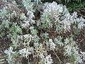 Lavandula angustifolia Melissa 0zz.jpg