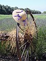 Lavender Field Bonnet, Highland Springs Ranch 6-2011 (5853940802).jpg