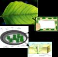 Leaf2chlorophyll.png