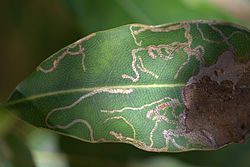 Leaf miner on macadamia.jpg