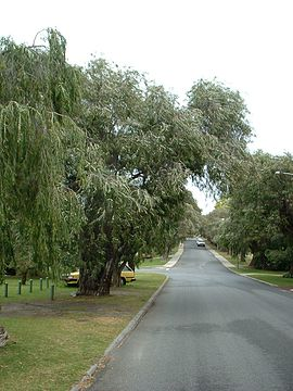 Peppermint trees form an avenue in Keane Street