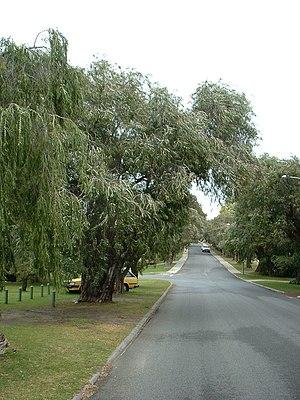 Peppermint Grove, Western Australia - Peppermint trees form an avenue in Keane Street