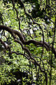 Leaves, Weeping Japanese pagoda tree - Flickr - nekonomania (3).jpg
