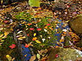 Leaves-in-the-creek - West Virginia - ForestWander.jpg