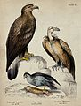 Left, a Bearded Vulture, middle, an Osprey, right, a Griffon Wellcome V0020473.jpg