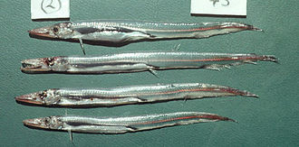 Aulopiformes - Lestrolepis japonica (Alepisauroidei: Paralepididae)