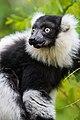 Lemur (26244882729).jpg