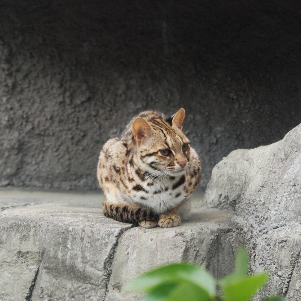 Leopard Cat Tennoji
