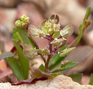 Lepidium - Lepidium lasiocarpum var. lasiocarpum