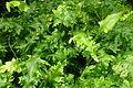 Leptochilus macrophyllus wrightii Monstrif kz1.jpg