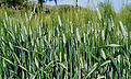 Les Plantes Cultivades. Cereals. Imatge 1834.jpg