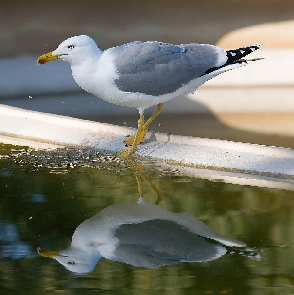 Lesser Black-backed Gull - Barcelona, Spain - Jan 2007