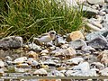 Lesser Sand Plover (Charadrius mongolus) (38061900976).jpg