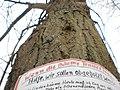 Lime tree on Lahn river bank in Marburg, Text 'Hilfe, wir sollen abgeholzt werden', Lindenallee am Trojedamm-Wehr 2018-04-03.jpg