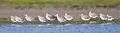 Limosa lapponica flock - Orielton Lagoon.jpg