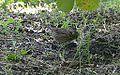 Lincoln's Sparrow (8002114917).jpg