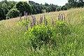 Lingen - Speicherbecken Geeste + Lupinus polyphyllus 02 ies.jpg