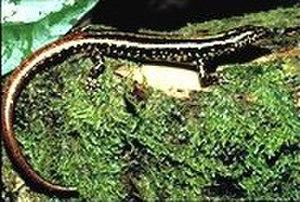 Lipinia noctua - Image: Lipinia noctua
