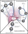 Lipoprotein metabolism (slovak).png