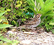 Little Bunting,common winter visitor