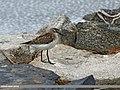 Little Stint (Calidris minuta) (31021050981).jpg