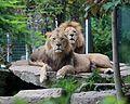 Loewen Tierpark Hellabrunn-6.jpg