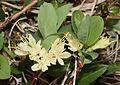 Lonicera caerulea subsp. edulis (flower).JPG
