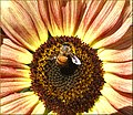 Look Through A Bee's Wing (10386525005).jpg