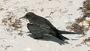 Sooty tern - Juvenile on Lord Howe Island