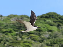 Lord Howe Island - flying Sooty Tern 2.JPG