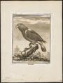 Lorius garrulus - 1700-1880 - Print - Iconographia Zoologica - Special Collections University of Amsterdam - UBA01 IZ18500298.tif