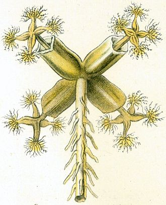 Lunularia - Lunularia can also reproduce sexually, as illustrated by Haeckel in this drawing of an archegonial head with (diploid) sporophyte plantlets. The main plant body (thallus) is haploid