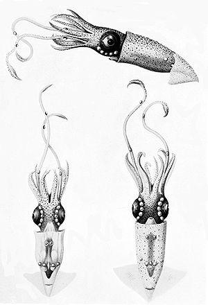 Lycoteuthis lorigera - Image: Lycoteuthis diadema