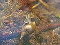 Lymnaea stagnalis in the Teufelsbruch swamp.jpg