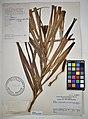 MNH DA 017-PAND-091 Freycinetia palawanensis Merr. Ex Elm.jpg