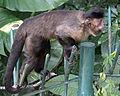Macaco Prego Marrom.jpg