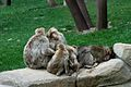 Macaques (5958653152).jpg