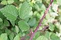 Macchiabjörnbär (Rubus ulmifolius)-2974 - Flickr - Ragnhild & Neil Crawford.jpg