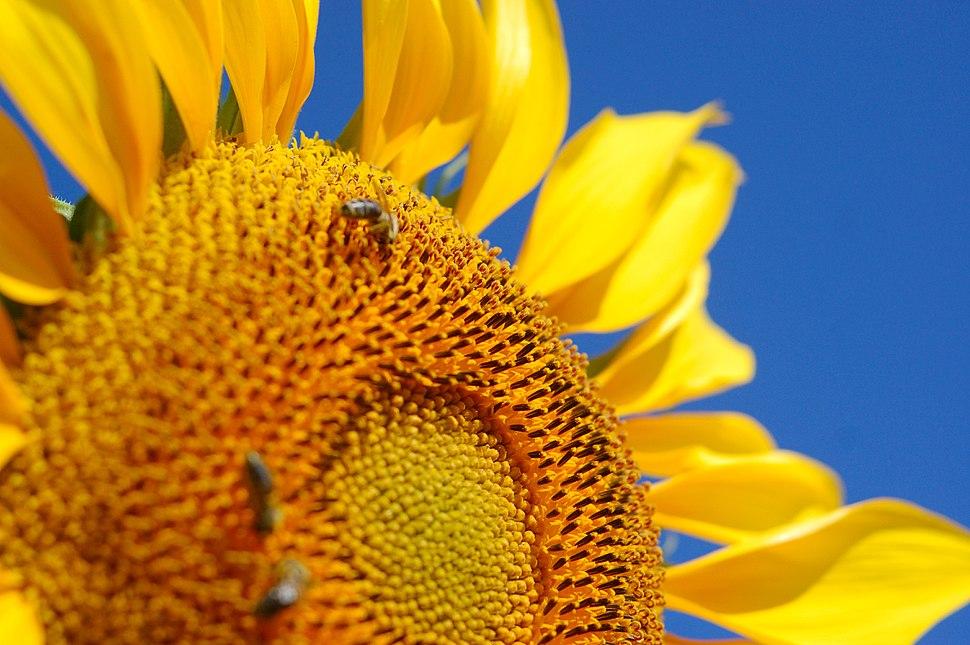 MacedonianSunflower