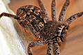 Macro image of huntsman spider from side.jpg